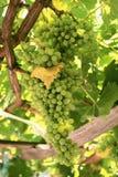 виноградины пука белые Стоковое Изображение
