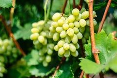 виноградины пука зеленеют зрелое Стоковая Фотография
