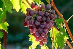 виноградины пука зрелые Стоковые Изображения RF