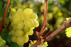 виноградины пука зрелые Стоковая Фотография RF
