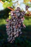 виноградины пука зрелые Стоковое Фото