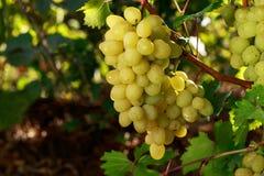 виноградины пука зрелые Стоковая Фотография