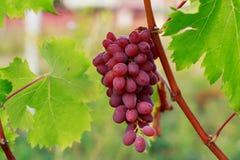 виноградины пука зрелые Стоковое Изображение