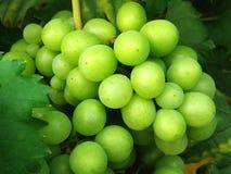 виноградины пука Стоковая Фотография RF