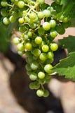 виноградины пука Стоковое Изображение