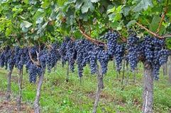 виноградины пуков Стоковые Изображения