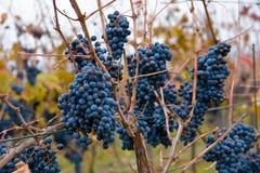 виноградины пуков Стоковые Фото