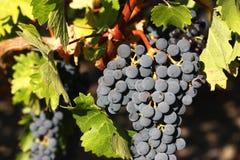 виноградины пурпуровые Стоковая Фотография