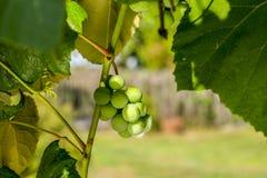Виноградины растя на лозе - конец-вверх снял пука зрелых виноградин белого вина вися на лозе купая в sunligh Стоковые Фото