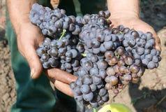 виноградины рекордного урожая стоковые фото