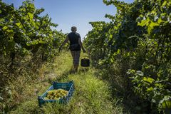 Виноградины рудоразборки человека в осени Стоковая Фотография