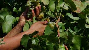 Виноградины рудоразборки человека в осени сток-видео