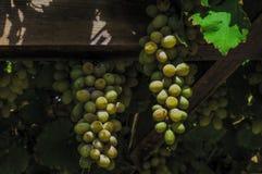 Виноградины смертной казни через повешение на лозе - дневном свете - сверхконтрастной стоковые фотографии rf