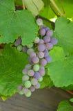 виноградины согласия Стоковая Фотография