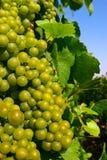 виноградины шампанского Стоковая Фотография RF