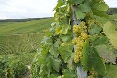 виноградины 1 шампанского epernay Стоковое Изображение
