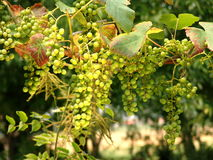 виноградины 1 Стоковая Фотография