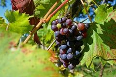 виноградины Стоковое фото RF