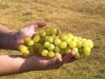 виноградины Стоковое Фото