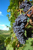 виноградины Стоковая Фотография