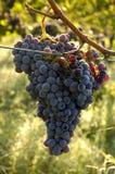 виноградины chianti стоковые изображения rf