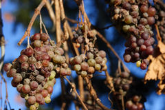 виноградины franconian морозят вино Стоковое Изображение
