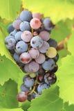 Виноградины Garnacha Стоковые Изображения