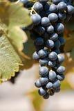 виноградины shiraz Стоковое Изображение