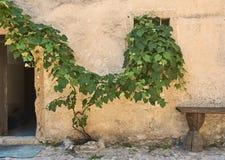 Виноградная лоза на старой стене Стоковые Изображения