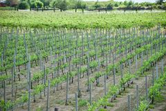 виноградная лоза растя в виноградниках засаживая земледелие фермы стоковые изображения