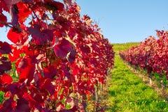 Виноградника строк вина осень падения сезонов дневного времени Outdoors изменяя Стоковая Фотография