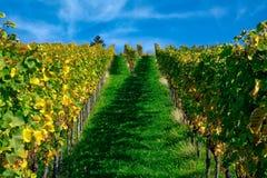 Виноградника строк вина осень падения сезонов дневного времени Outdoors изменяя Стоковые Фотографии RF
