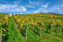 Виноградника строк вина осень падения сезонов дневного времени Outdoors изменяя Стоковое Изображение RF