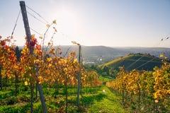 Виноградника строк вина осень падения сезонов дневного времени Outdoors изменяя Стоковое фото RF