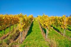 Виноградника строк вина осень падения сезонов дневного времени Outdoors изменяя Стоковое Изображение