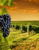 виноградники взгляда вечера Стоковое фото RF