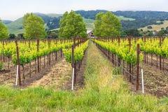 Виноградники в зеленом цвете холмов сочном стоковые изображения rf