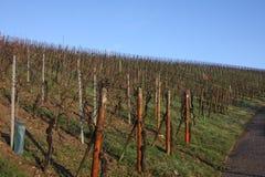 Виноградники в зиме, Люксембург Стоковое фото RF