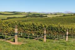 Виноградники в зоне Marlborough, Новая Зеландия виноградного вина Sauvignon Blanc Стоковая Фотография RF