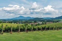 Виноградники в зоне Slovenske Konjice стоковая фотография