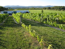 Виноградники в Квебеке, Канаде стоковые изображения
