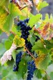 Виноградники в осени жмут зрелые виноградины в падении, виноделии сбора виноградины голубые виноградины Стоковые Изображения