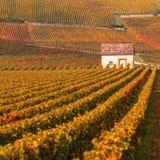 Виноградники в осени приправляют, бургундский, Франция Стоковая Фотография