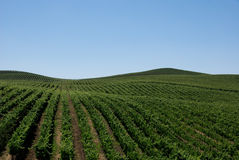 виноградники завальцовки Стоковые Изображения