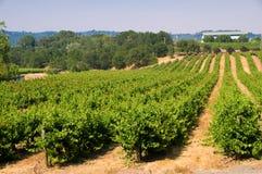 виноградники завальцовки california стоковые изображения