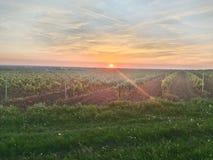 Виноградники и заход солнца стоковое фото rf