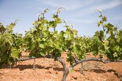 виноградники Каталонии стоковые изображения rf