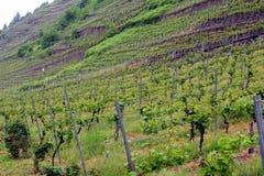 Виноградники на весне стоковые изображения