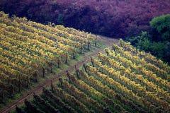 виноградники осени Стоковое Изображение
