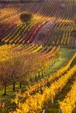 Виноградники осени Moravian стоковое изображение